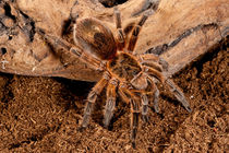 Copper Pink Burst Tarantula by Danita Delimont