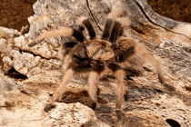 New River Rust Rump Tarantula by Danita Delimont