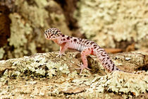 Banded Gecko by Danita Delimont