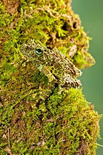 Vietnamese Mossy Frog by Danita Delimont