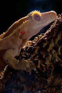 Crested Gecko von Danita Delimont