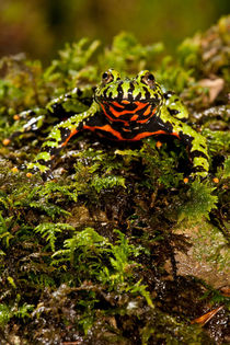 Fire Belly Toad by Danita Delimont