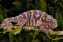 Rainbow Panther Chameleon von Danita Delimont