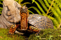 Eastern Box Turtle by Danita Delimont