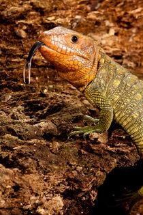 Caiman Lizard by Danita Delimont