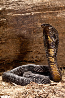 Black Pakistan Cobra von Danita Delimont