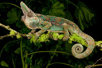 Veiled Chameleon von Danita Delimont