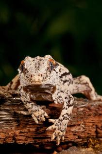 Gargoyle Gecko von Danita Delimont