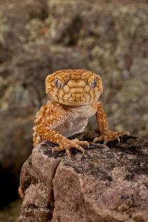 Rough Knob-tail Gecko by Danita Delimont