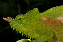 Four Horned Chameleon by Danita Delimont
