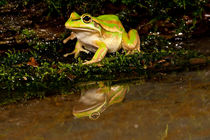 Golden Bell Treefrog by Danita Delimont