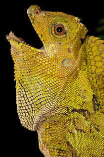 Malaysian Crested Dragon Lizard by Danita Delimont