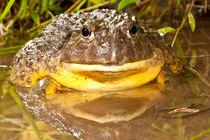 African Burrowing Bullfrog von Danita Delimont