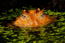 Brazilian Horn Frog von Danita Delimont