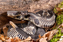 Timber Rattlesnake von Danita Delimont