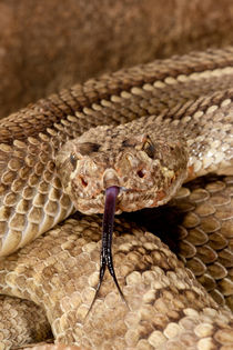 Mojave Rattlesnake von Danita Delimont