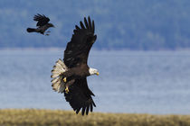Crow attacking Bald Eagle by Danita Delimont