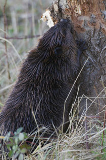 Beaver at work by Danita Delimont
