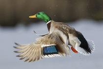 Mallard Drake Taking Flight von Danita Delimont