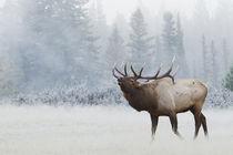 Rocky Mountain Bull Elk von Danita Delimont