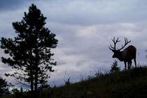 Rocky Mountain Bull Elk at Dusk by Danita Delimont