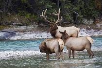 Rocky Mountain Bull Elk with Cows von Danita Delimont