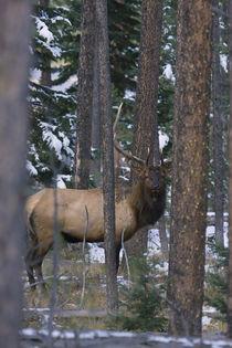 Rocky Mountain Bull Elk, autumn snow by Danita Delimont