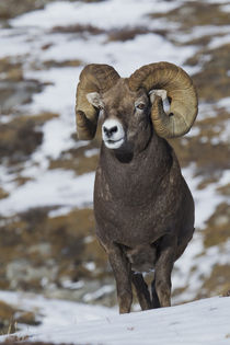 Rocky Mountain Bighorn Sheep Ram by Danita Delimont