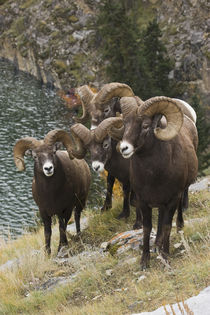 Rocky Mountain Bighorn Sheep Rams von Danita Delimont