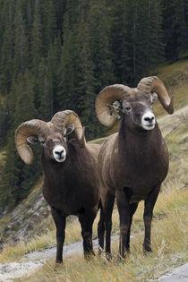 Rocky Mountain Bighorn Sheep Rams von Danita Delimont