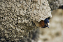 Cliff Swallow, emerging from nest von Danita Delimont
