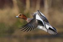 Eurasian Widgeon Taking Flight von Danita Delimont