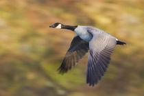 Canada Goose in Flight von Danita Delimont