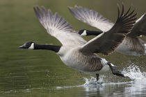 Canada Geese Taking Flight by Danita Delimont