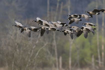Lesser Canada Geese by Danita Delimont