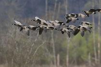 Lesser Canada Geese von Danita Delimont