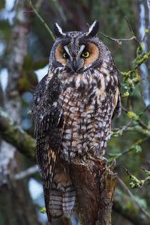 Long-eared Owl by Danita Delimont