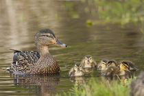 Mallard Hen with Ducklings von Danita Delimont