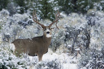 Mule Deer Buck, Late Autumn Snow von Danita Delimont