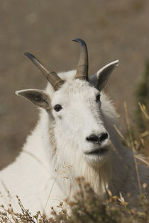 Mountain Goat von Danita Delimont