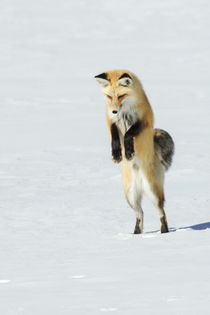 Red Fox Leaping von Danita Delimont