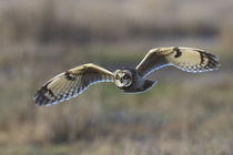 Short-eared Owl Hunting by Danita Delimont