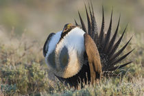 Sage Grouse, Courtship Display by Danita Delimont