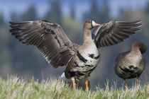 Greater White-fronted Goose by Danita Delimont