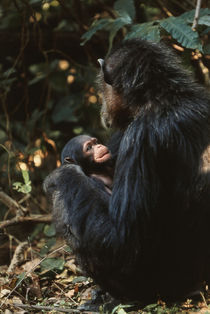 Africa, Female chimpanzee and infant . by Danita Delimont
