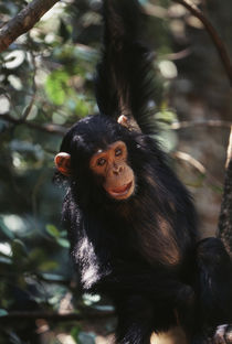 Africa, Young Chimpanzee hanging at forest. by Danita Delimont
