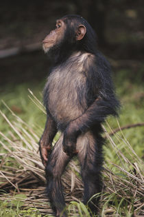 Africa, Young female Chimpanzee standing and looking away. by Danita Delimont