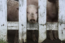 Cute but sad looking baby pig looking through white picket fence. by Danita Delimont
