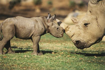 Africa, Captive Southern White Rhino with young. by Danita Delimont