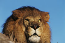 Close-up of African Lion by Danita Delimont